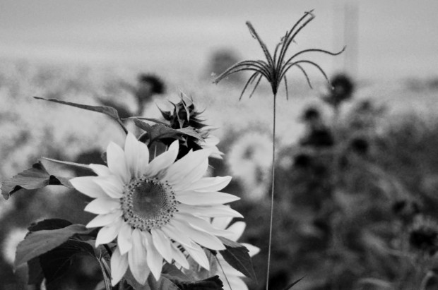 sunflowernj-1
